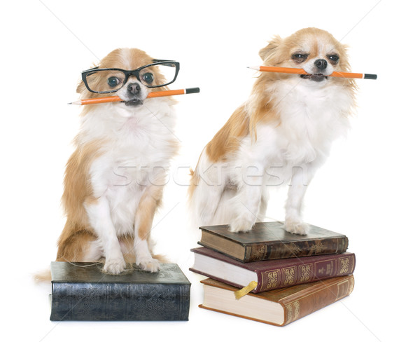 Stock photo: chihuahua in school