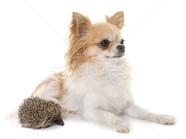 Baby jeż psa młodych zwierząt studio Zdjęcia stock © cynoclub