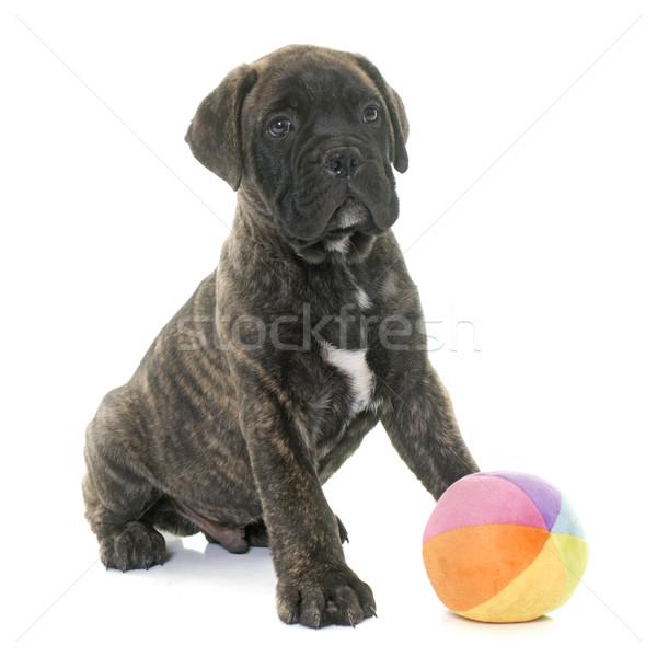 子犬 牛 マスチフ 演奏 白 おもちゃ ストックフォト © cynoclub