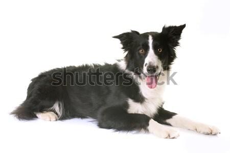Border collie studio witte zwarte puppy Stockfoto © cynoclub