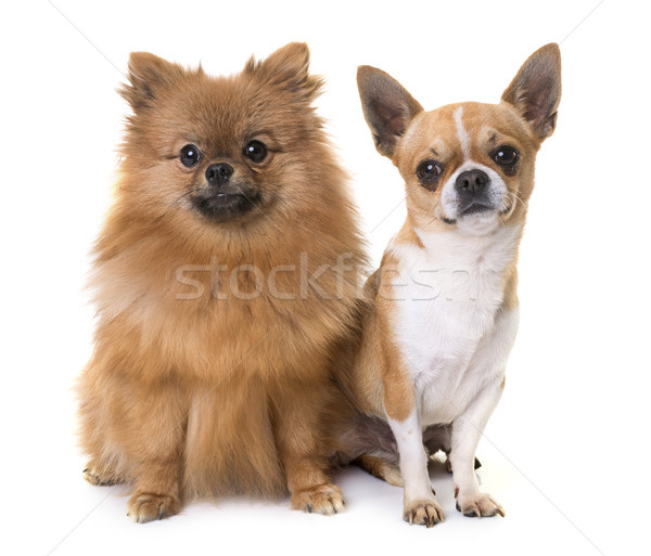 young chihuahua and spitz Stock photo © cynoclub