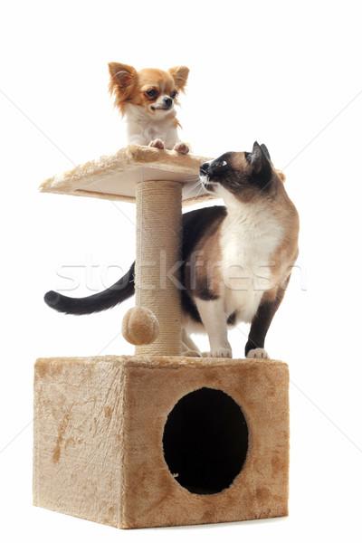 Sziámi macska fajtiszta kutya macska játszik díszállat Stock fotó © cynoclub
