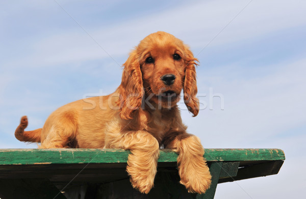 puppy cocker spaniel Stock photo © cynoclub