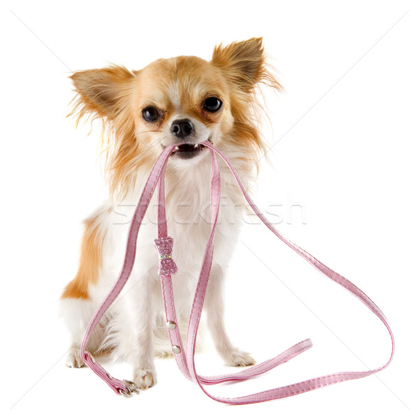 Stock photo: chihuahua and leash