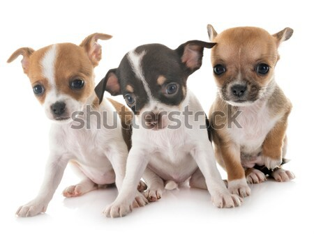 four jack russel terrier Stock photo © cynoclub