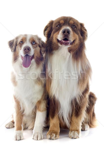 Australiano perro ojo azul perros Foto stock © cynoclub