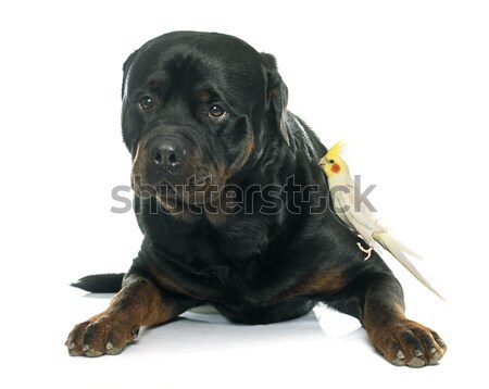 senior rottweiler Stock photo © cynoclub