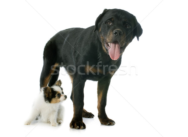 papillon puppy and rottweiler  Stock photo © cynoclub