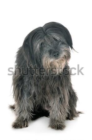 Tibetan terrier up Stock photo © cynoclub