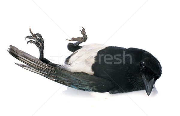 Stock photo: Eurasian Magpie