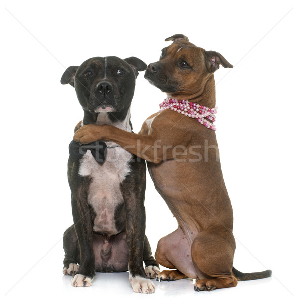 Stock photo: two staffordshire bull terrier