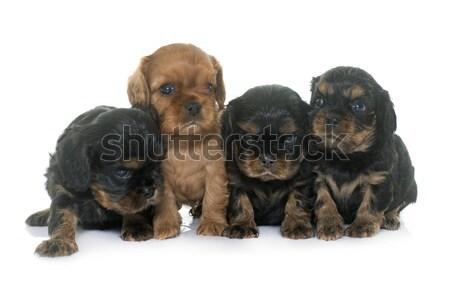 puppies cavalier king charles Stock photo © cynoclub