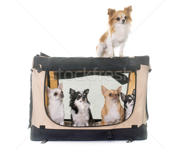 Stock photo: chihuahuas in transport kennel