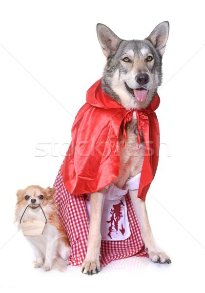 Küçük kırmızı binicilik köpek arkadaşlar kurt Stok fotoğraf © cynoclub
