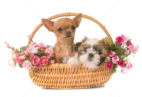 shih tzu and chihuahua puppies Stock photo © cynoclub