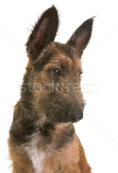 Cucciolo pastore belga cane ritratto giovani testa Foto d'archivio © cynoclub