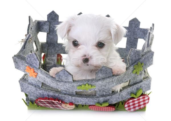 puppy maltese dog Stock photo © cynoclub