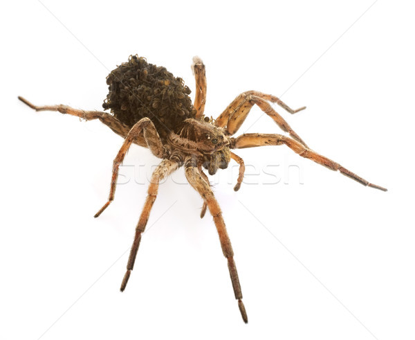 Wolf spider with babies Stock photo © cynoclub