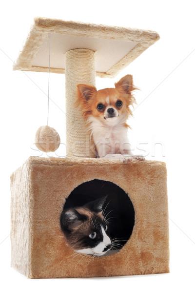 Sziámi macska fajtiszta kutya macska stúdió kutyakölyök Stock fotó © cynoclub