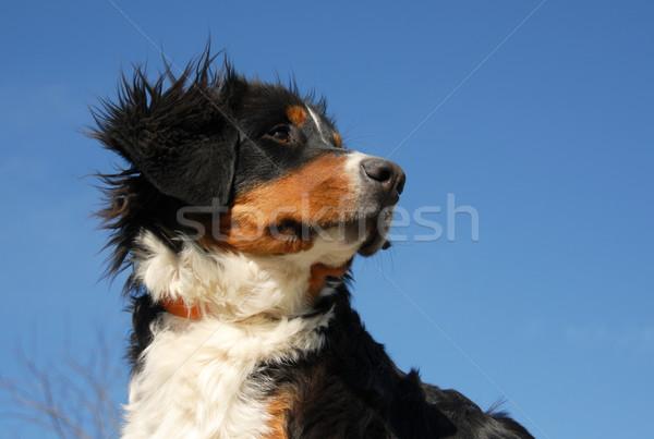 Jóvenes boyero de berna cachorro cielo azul montana Foto stock © cynoclub