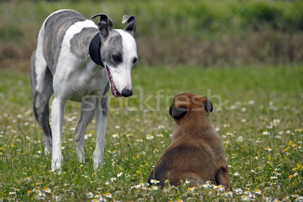 ストックフォト: 子犬 · 肖像 · 牧羊犬 · 花 · フィールド · 美しい