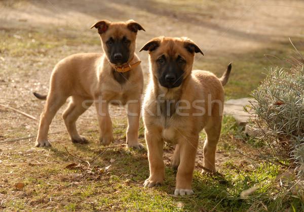 Stock fotó: Kettő · kiskutyák · fiatal · fajtiszta · kutya · díszállat