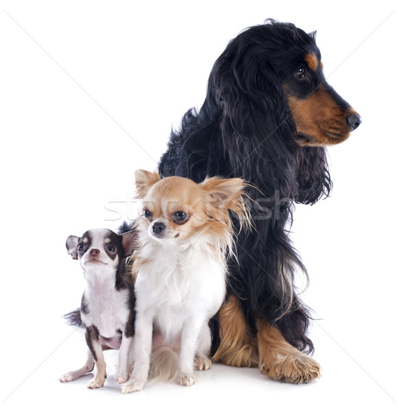 Photo stock: Portrait · cute · chiens · animaux · chiot