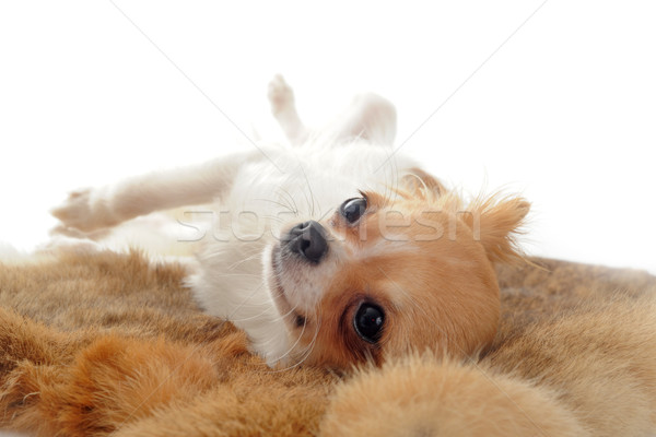 Foto stock: Cachorro · retrato · bonitinho · jovem · branco