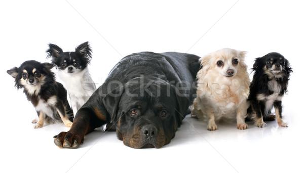 Сток-фото: ротвейлер · белый · собака · собаки · группа · студию