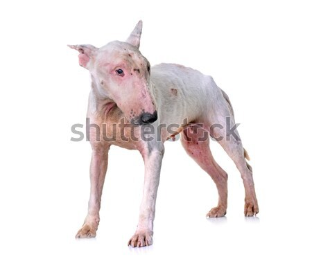 back of Sphynx Hairless Cat Stock photo © cynoclub