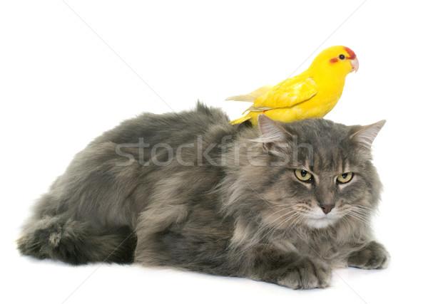 Maine kat witte vrienden vogel dier Stockfoto © cynoclub