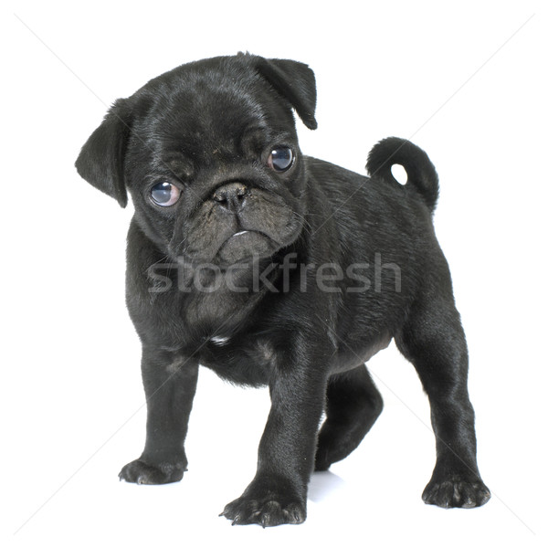 puppy black pug Stock photo © cynoclub