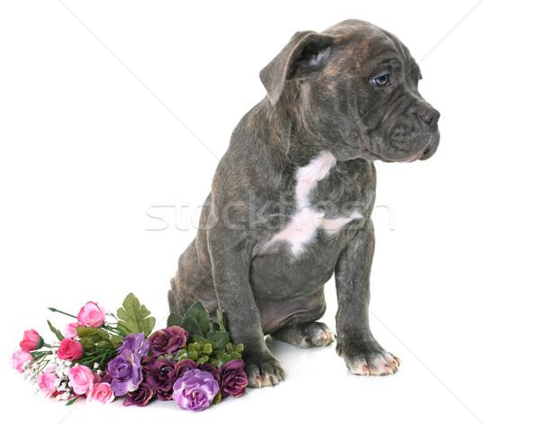 puppy american staffordshire terrier Stock photo © cynoclub