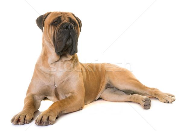 щенков бык дог собака животного ПЭТ Сток-фото © cynoclub