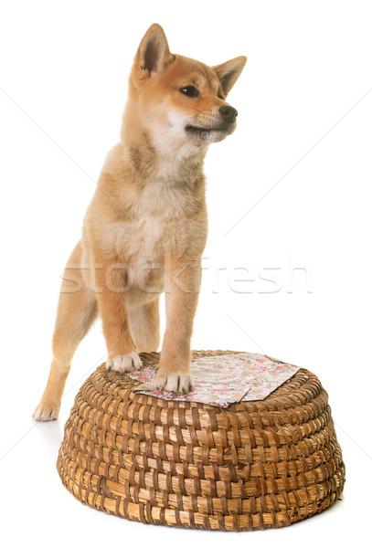 puppy shiba inu Stock photo © cynoclub