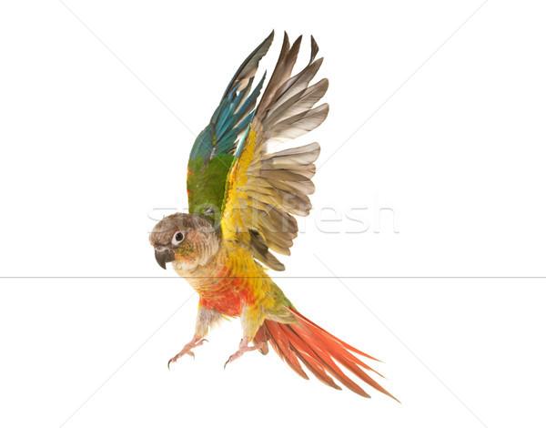 Green-cheeked parakeet in studio Stock photo © cynoclub
