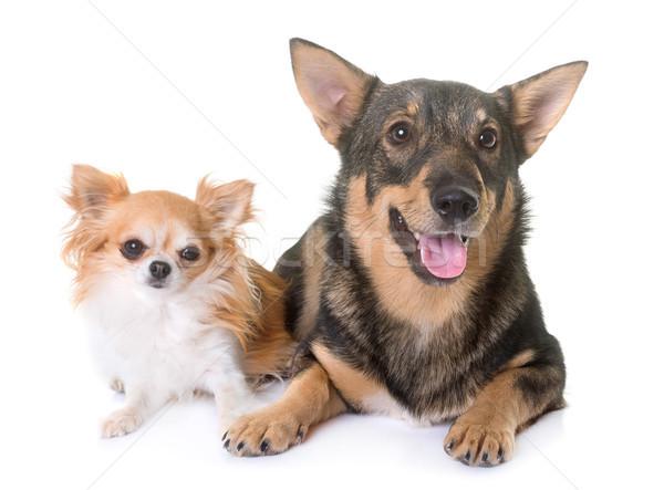 Swedish Vallhund and chihuahua Stock photo © cynoclub