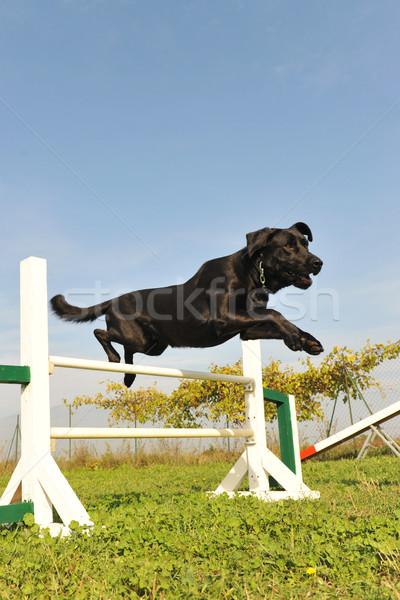 labrador retriever in agility Stock photo © cynoclub