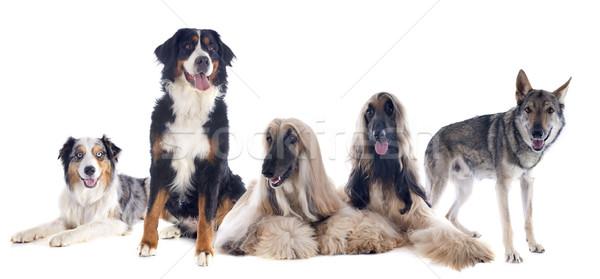 Сток-фото: пять · собаки · большой · белый · собака · волка
