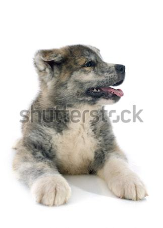 puppy akita inu Stock photo © cynoclub