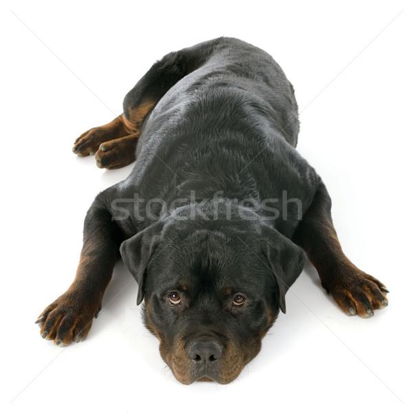 Rottweiler witte zwarte studio slapen Stockfoto © cynoclub
