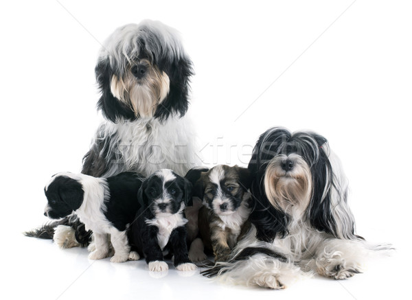 tibetan terrier family Stock photo © cynoclub