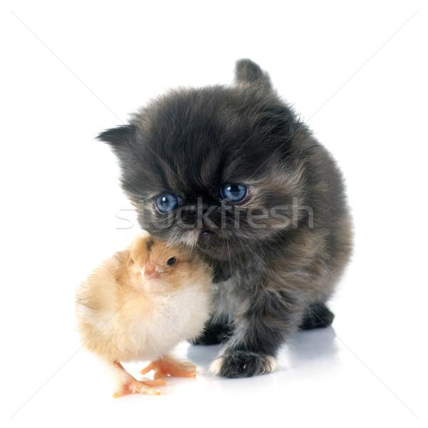 Kiscica csirke fehér macska barátok tyúk Stock fotó © cynoclub