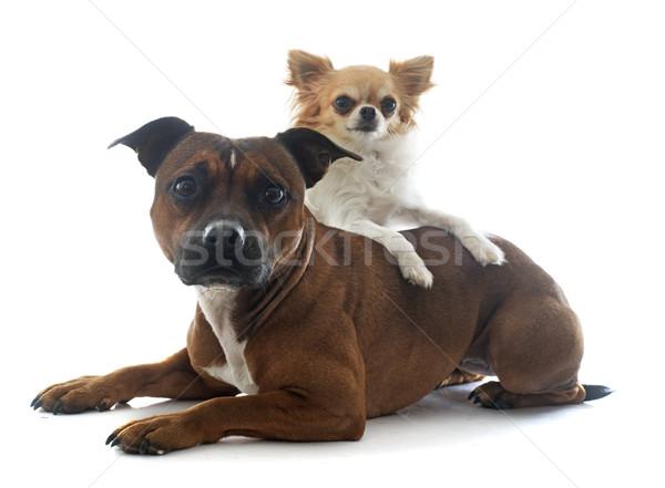 Stock fotó: Bika · terrier · kutya · barátok · fiatal · női