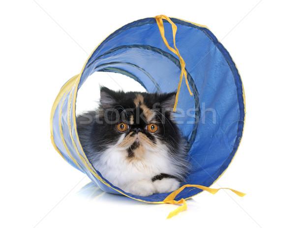 トリコロール ペルシャ猫 トンネル 演奏 白 女性 ストックフォト © cynoclub