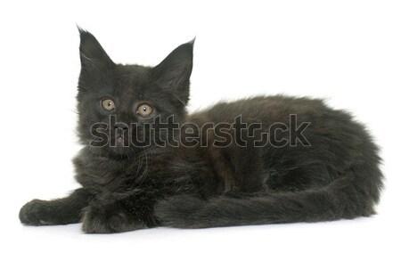 Maine kitten kat zwarte jonge Stockfoto © cynoclub
