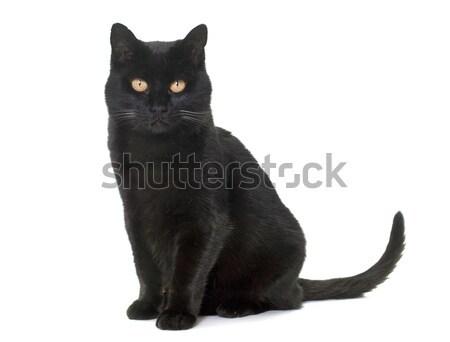 黒猫 スタジオ 白 猫 ペット 孤立した ストックフォト © cynoclub