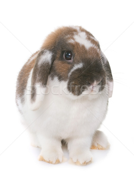 Enano conejo blanco vacaciones animales estudio Foto stock © cynoclub