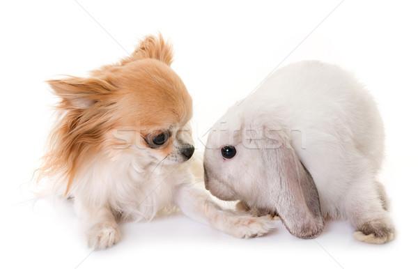 mini lop and chihuahua Stock photo © cynoclub