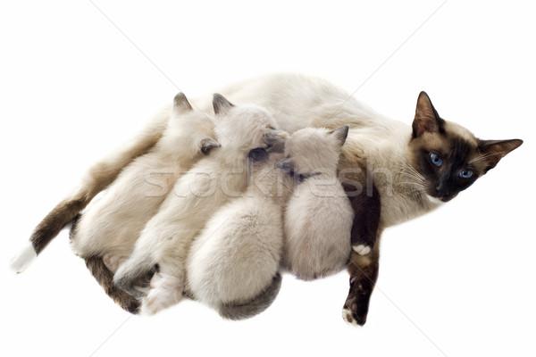 котенка матери красивой белый семьи Сток-фото © cynoclub